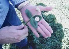 Gainer III Clover Seed
