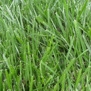 Crabgrass-Seed
