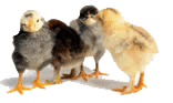 buy-baby-chicks-at-nixa-hardware