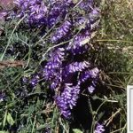 Hairy-Vetch-Seed
