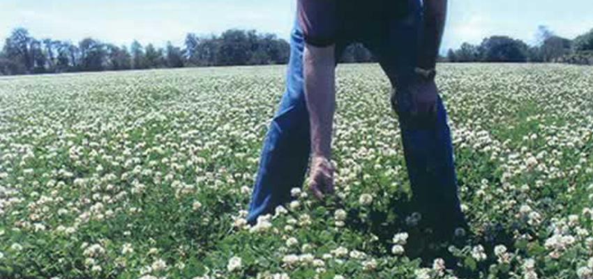 Jumbo-Ladino-Clover-Seed