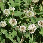 Royal Ladino Clover Seed
