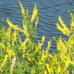 Sweet-Clover-Yellow-Blossom-Seed