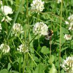 White Dutch Clover Seed
