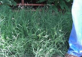 cherokee_bermuda_grass