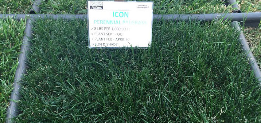 Perennial Ryegrass Icon Turf Type Lawn Seed Seed