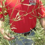 Sweet Clover – White Blossom Seed
