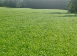 A fast growing field of teff at 30-35 days after planting and 10 days to harvest
