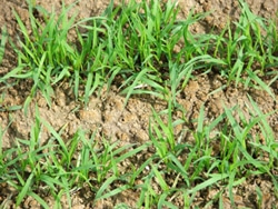 A uniform teff stand 2-3 weeks after planting.