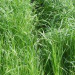 Annual Ryegrass Lawn Seed