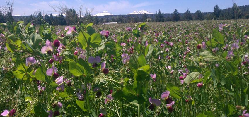 Austrian Winter Pea Seed Seed Pellet Stoves Wood