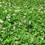 Durana-(White-Clover)-Seed
