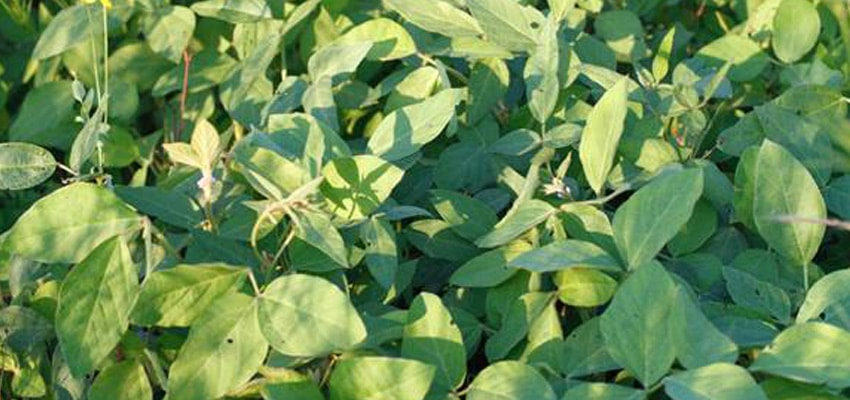 Laredo Forage Type Hay Bean Seed Pellet Stoves