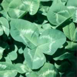 Rampart Clover Seed