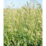 Southland Bromegrass Seed