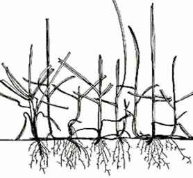 Bluegrass Has a Shallow Root System, Thus Not Drought Tolerant