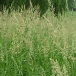 Field Grass Seed