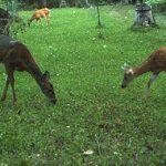 Deer Plot Seed