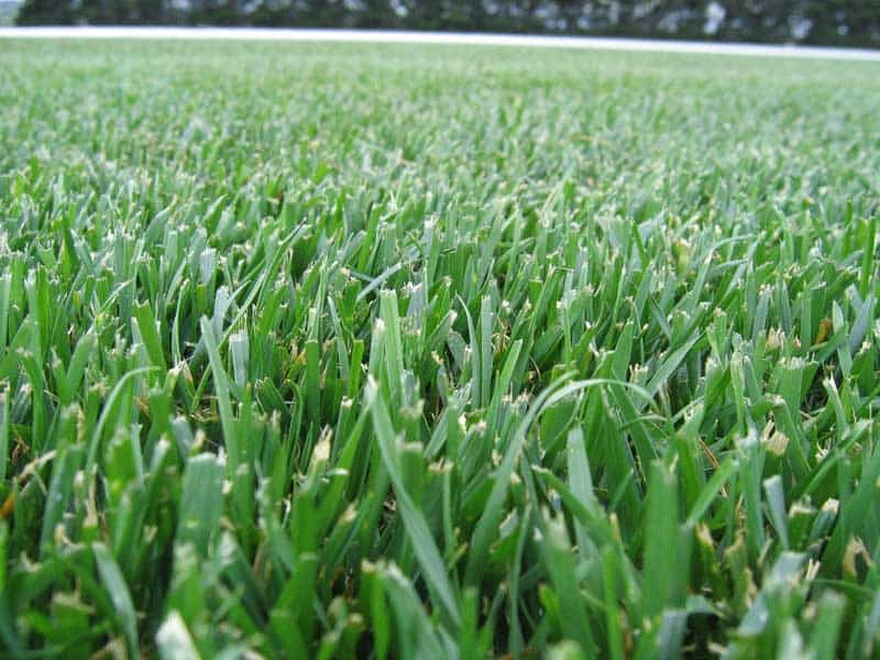 Tall Fescue Lawn Seed